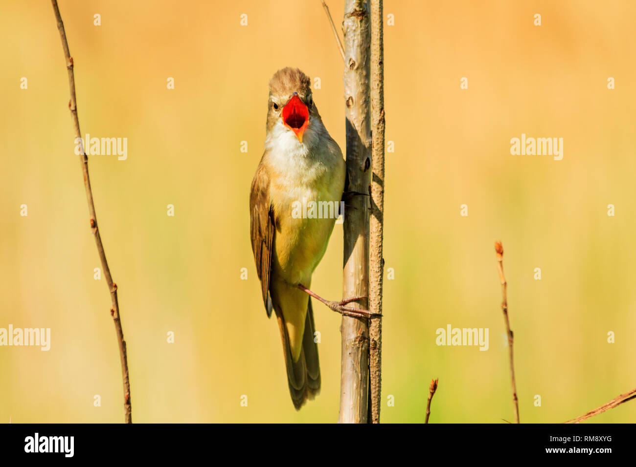 bird sits on a branch and sings loudly , spring period - Stock Image