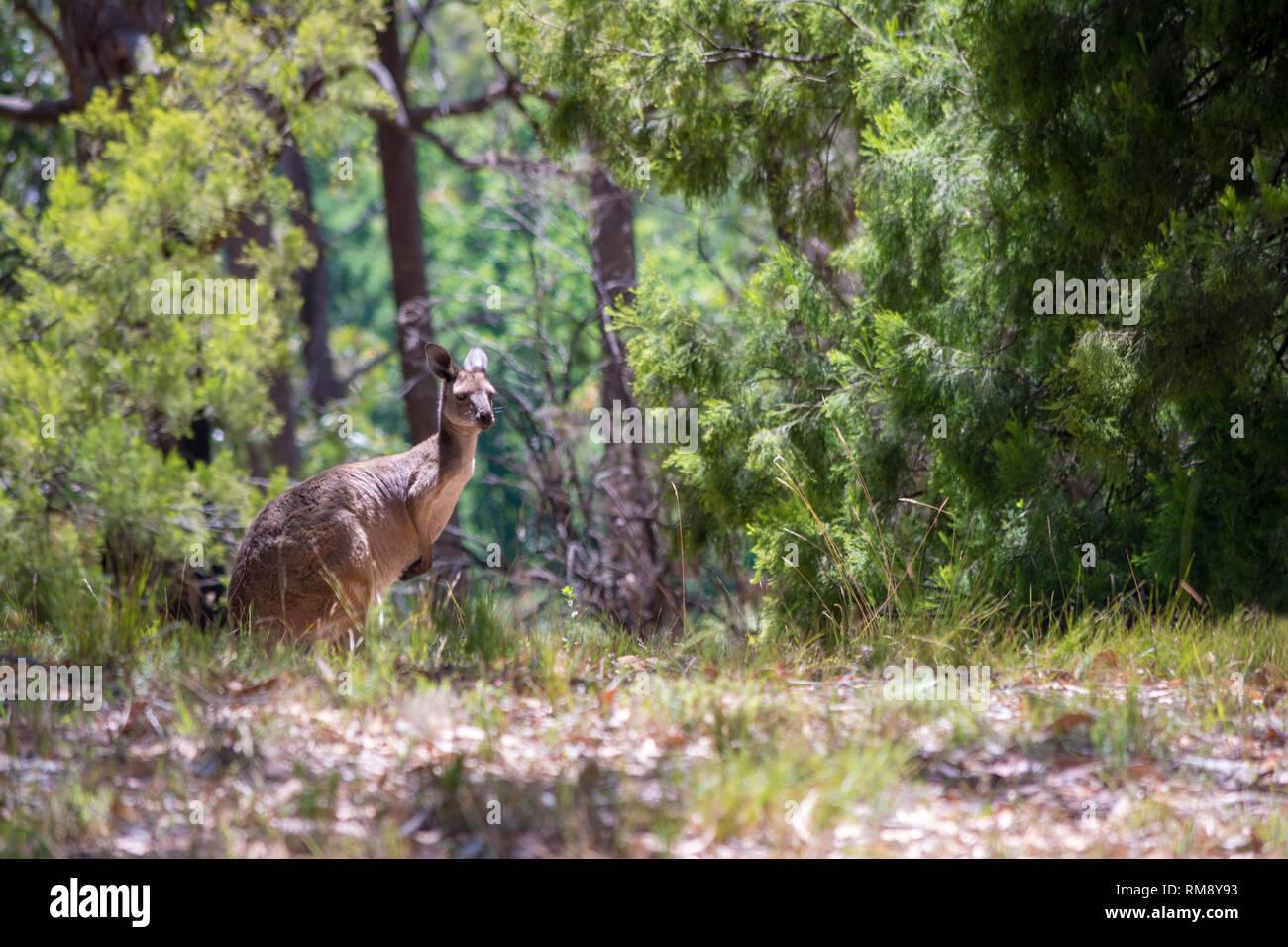 Wild kangaroo in the scrub land situated on the Mount Lofty in the Adelaide Hills, South Australia. - Stock Image