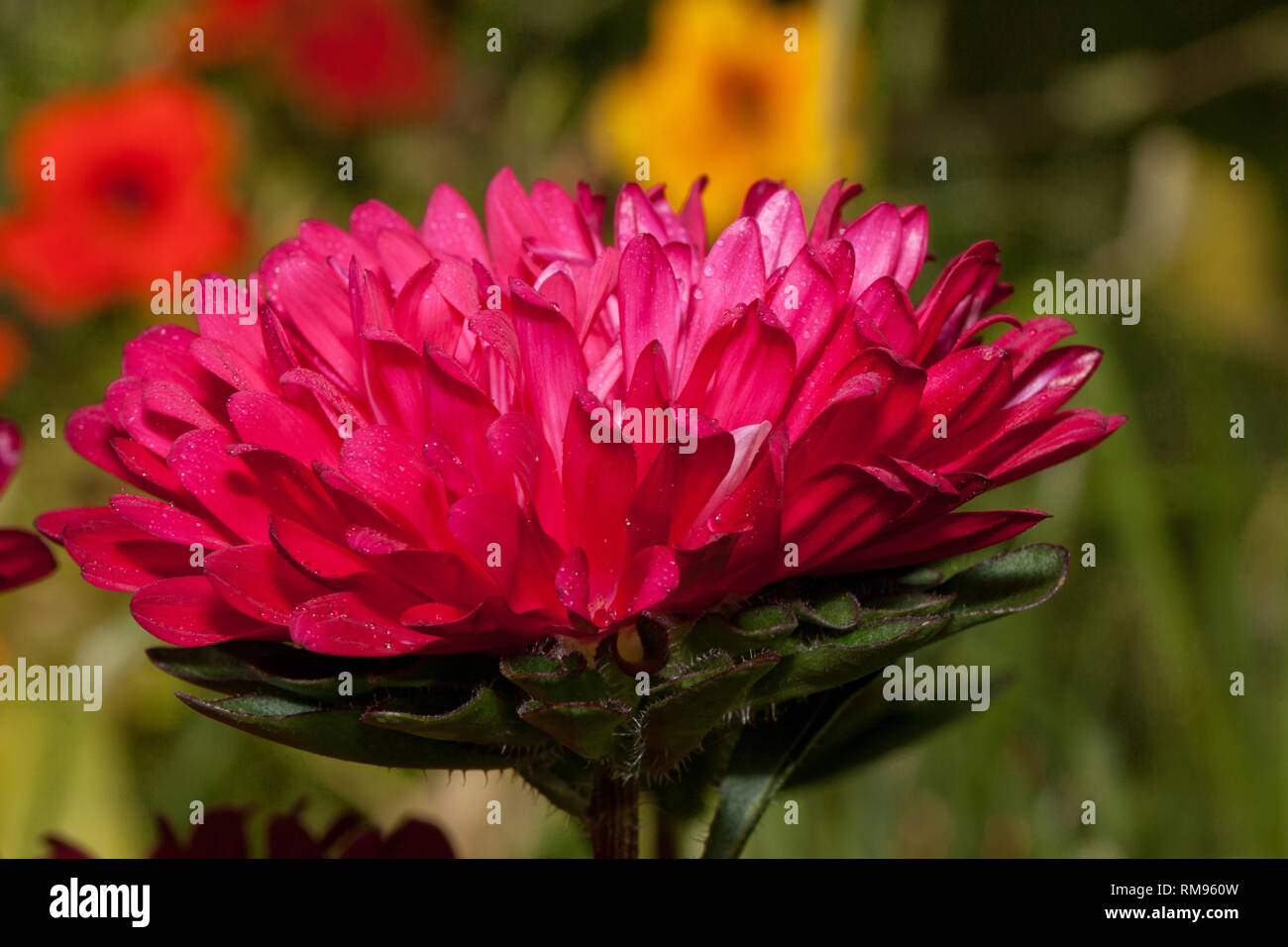 Beautiful callistephus is growing in the spring garden. Callistephus chinensis or china aster. Live nature. - Stock Image
