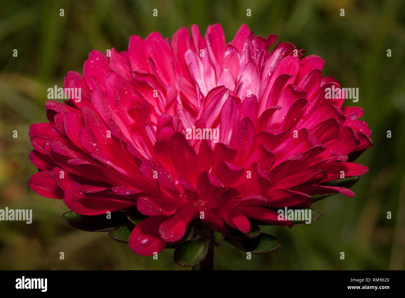 Beautiful purple callistephus is growing in the spring garden. Callistephus chinensis or china aster. Live nature. - Stock Image