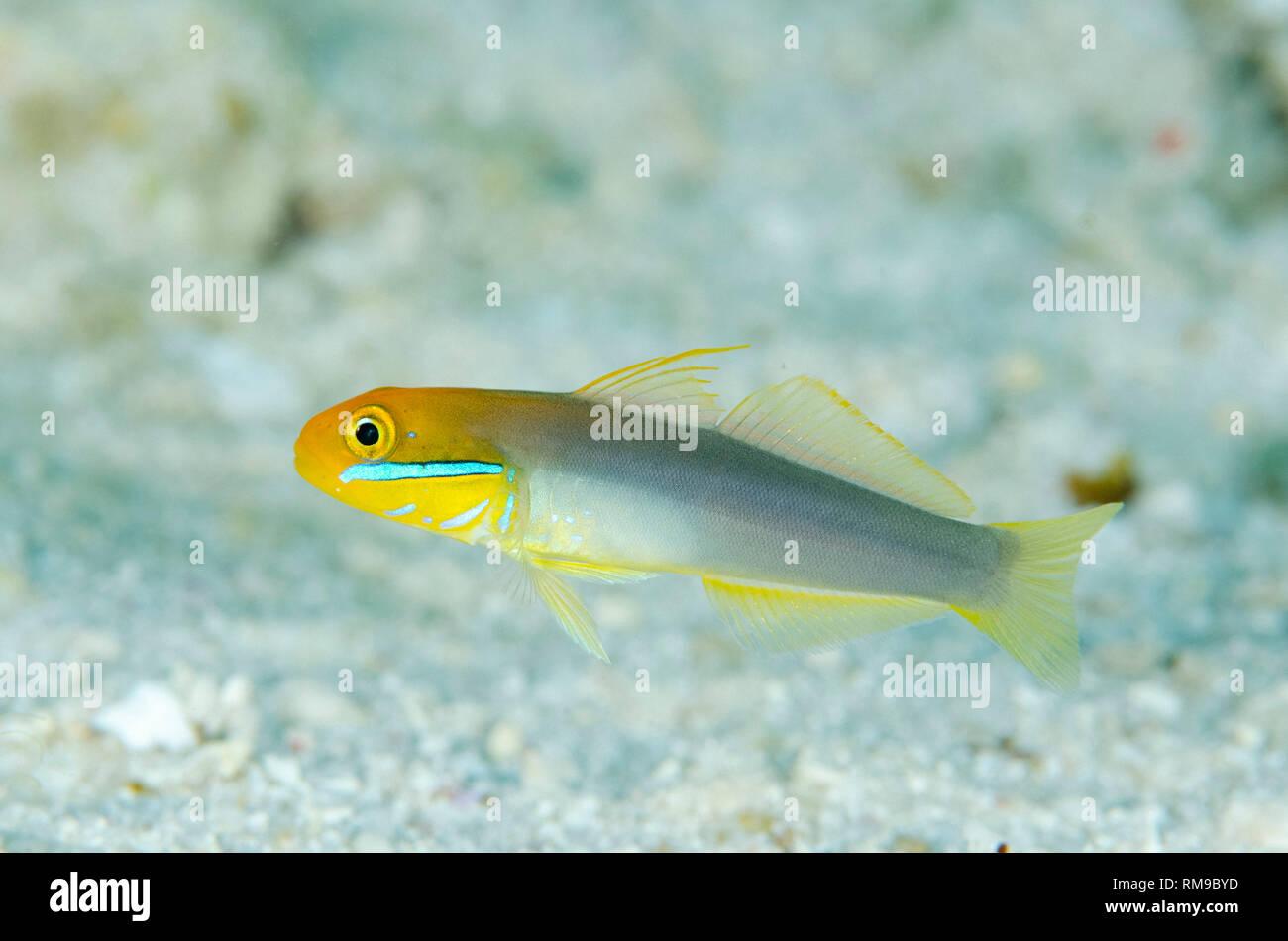 Bluestreak Goby, Valenciennea strigata, Babylon dive site, off Reta Island, near Alor, Indonesia - Stock Image