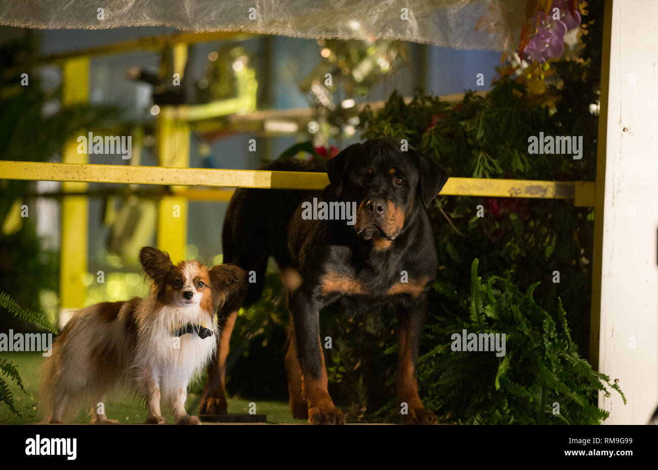RELEASE DATE: May 18, 2018 TITLE: Show Dogs STUDIO: Riverstone Pictures DIRECTOR: Raja Gosnell PLOT: Max, a macho, solitary Rottweiler police dog is ordered to go undercover as a primped show dog in a prestigious Dog Show, along with his human partner, to avert a disaster from happening. STARRING: Will Arnett, Ludacris, Natasha Lyonne. (Credit Image: © Riverstone Pictures/Entertainment Pictures) - Stock Image