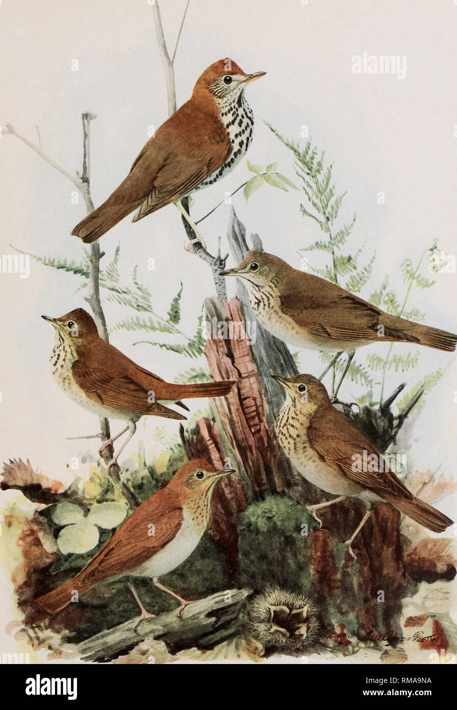 . Annual report. New York State Museum; Science; Science. BIRDS OF NEW YORK Memoir 12. N. Y. State Museum Plate 105.  -... WOOD THRUSH Hylocichla nustelina (Gmelin) HERMIT THRUSH GRAY-CHEEKED THRUSH Hylocichla guttata pallasi (Cabanis) Hylocichla aliciae ahciae (Baird) VEERY OLIVE-BACKED THRUSH Hylocichla fuscescens fuscescens (Stephens) Hylocichla ustulata swamsoni (Tschudi) All j nat. size. Please note that these images are extracted from scanned page images that may have been digitally enhanced for readability - coloration and appearance of these illustrations may not perfectly resemble th Stock Photo