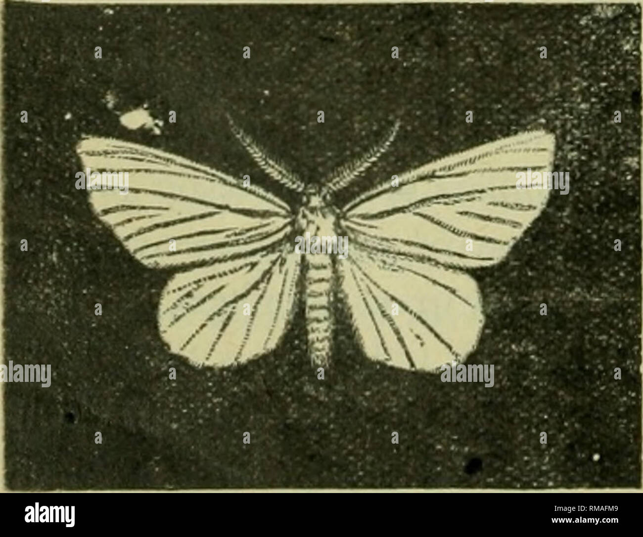 . Annual report. Entomological Society of Ontario; Insect pests; Insects -- Ontario Periodicals. 56 THE REPORT OF THE No. 19 28. The Spotted Tussock Moth, Halisidota maculata, Harr. also has been frequently found on basswood at Ottawa. The caterpillar is larger, and (juite different from the preceding species, the body being black, covered with tufts of bright yellow and black hairs, the black tufts being on the four anterior and three posterior segments, and the yellow tufts on the remaining segments. The latter are centred down the middle of the back with a row of black tufts. 2©. The Hickor - Stock Image