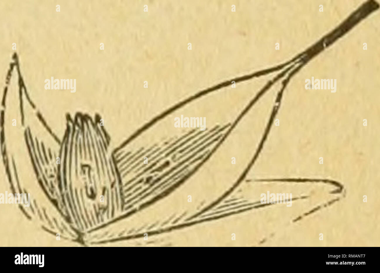 . Annual report. Entomological Society of Ontario; Insect pests; Insects -- Ontario Periodicals. / * . Fig. 33.—Hessian Fly —greatly magnified. Fig. 34.—Wheat Midge—natural size shewn below. Fig. 35.—Wheat Kernel attacked by Midge.. Please note that these images are extracted from scanned page images that may have been digitally enhanced for readability - coloration and appearance of these illustrations may not perfectly resemble the original work.. Entomological Society of Ontario; Ontario. Dept. of Agriculture. Toronto, The Society - Stock Image
