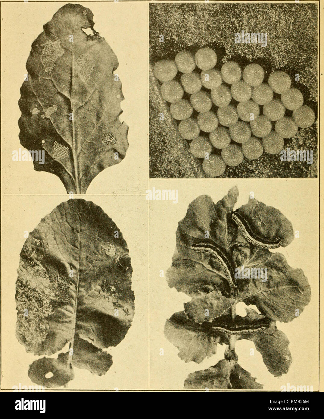 . Annual report. Entomological Society of Ontario; Insect pests; Insects -- Ontario Periodicals. 98 THE REPORT OF THE No. 36. 3 4 Zebra Caterpillar {Ceramica picta). 1. Turnip leaf with egg masses attached. 2. Eggs greatly enlarged. 3. Newy hatched larvae on turnip leaf. 4. Mature larvae on turnip leaf.. Please note that these images are extracted from scanned page images that may have been digitally enhanced for readability - coloration and appearance of these illustrations may not perfectly resemble the original work.. Entomological Society of Ontario; Ontario. Dept. of Agriculture. Toronto, - Stock Image