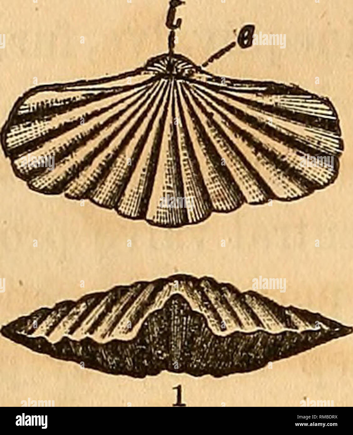 . Annual report of the regents of the university of the state of New York on the condition of the State Cabinet of Natural History and the historical and antiquarian collection annexed thereto. Science. 28 [Assembly The species positively determined to tlie present time are from the rocks of the Lower Helderberg group ; to which may be added the Trematospira {Atrypa) camura of the Niagara group, which presents some slight devia- tion in the perforation of the beak, and a species from the Hamilton group which is apparently of the same genus.. Please note that these images are extracted from sca Stock Photo