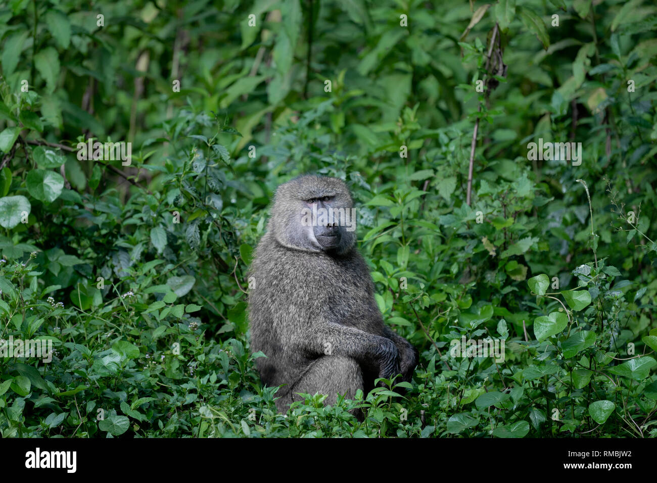 Olive Baboon in Ethiopia's cloud forest, Harenna Forest, Southern Ethiopia, Africa. - Stock Image