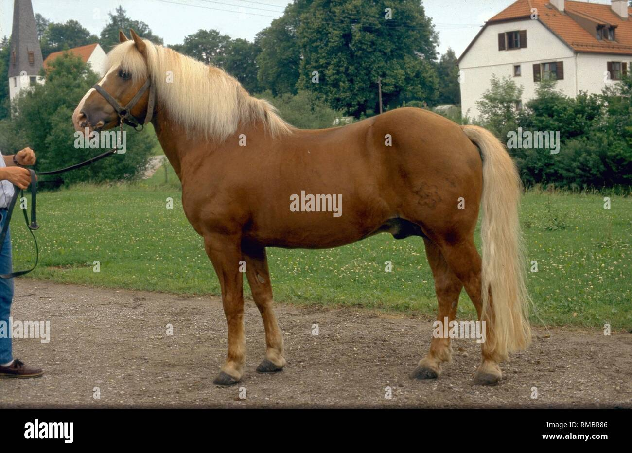 Page 3 Small Draft Horse High Resolution Stock Photography And Images Alamy