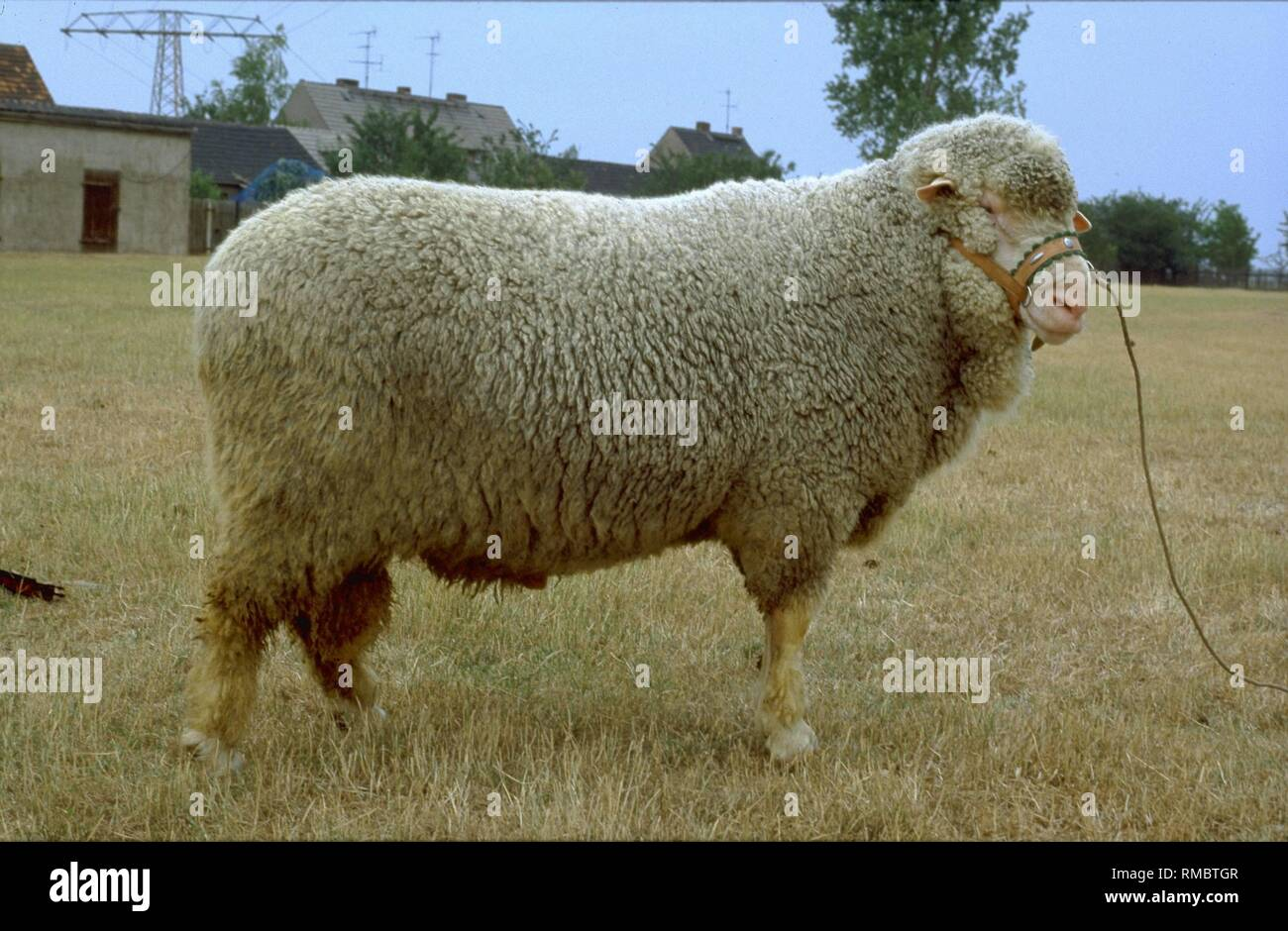 Fine Wool Sheep High Resolution Stock Photography And Images Alamy