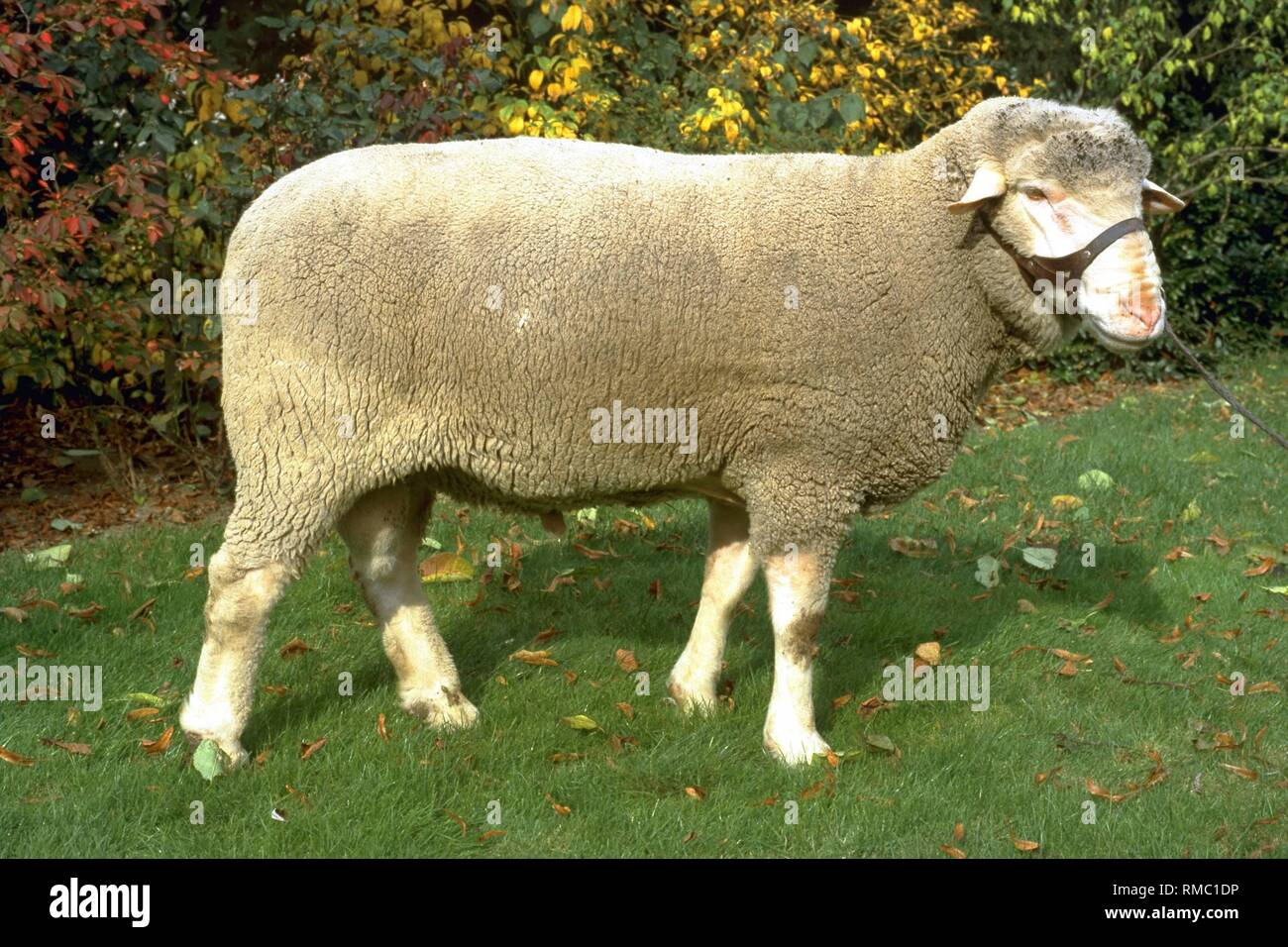 The Merino meat sheep is a medium-sized sheep with good