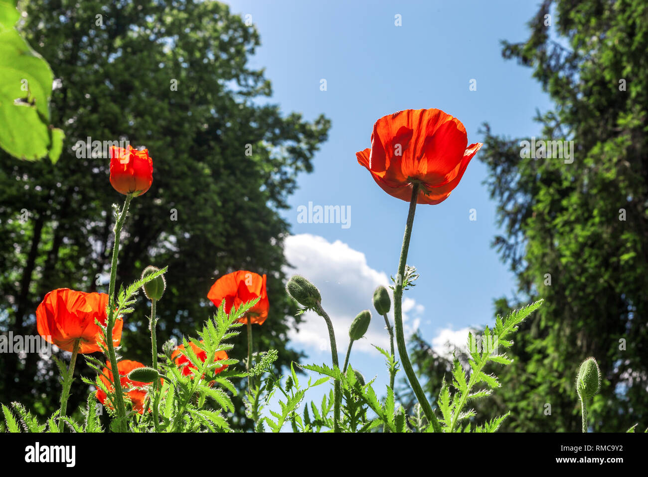 Red poppies flowers growing in green grass at spring cottage garden by blue sky. Beautiful Poppy in summer field at sun light day - Stock Image
