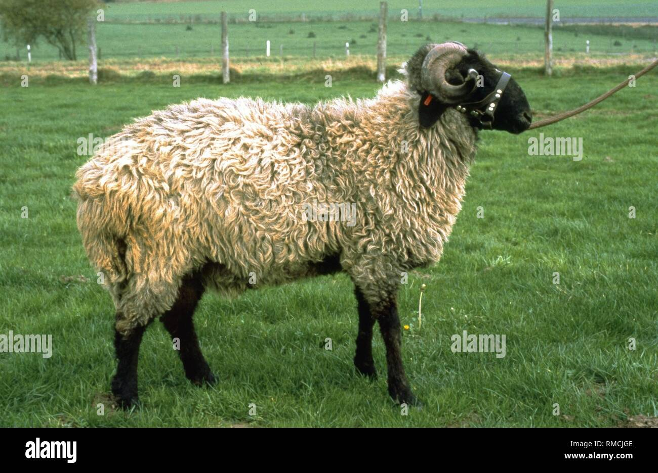 Karakul Wool Stock Photos   Karakul Wool Stock Images - Alamy 9e138e7b0baa