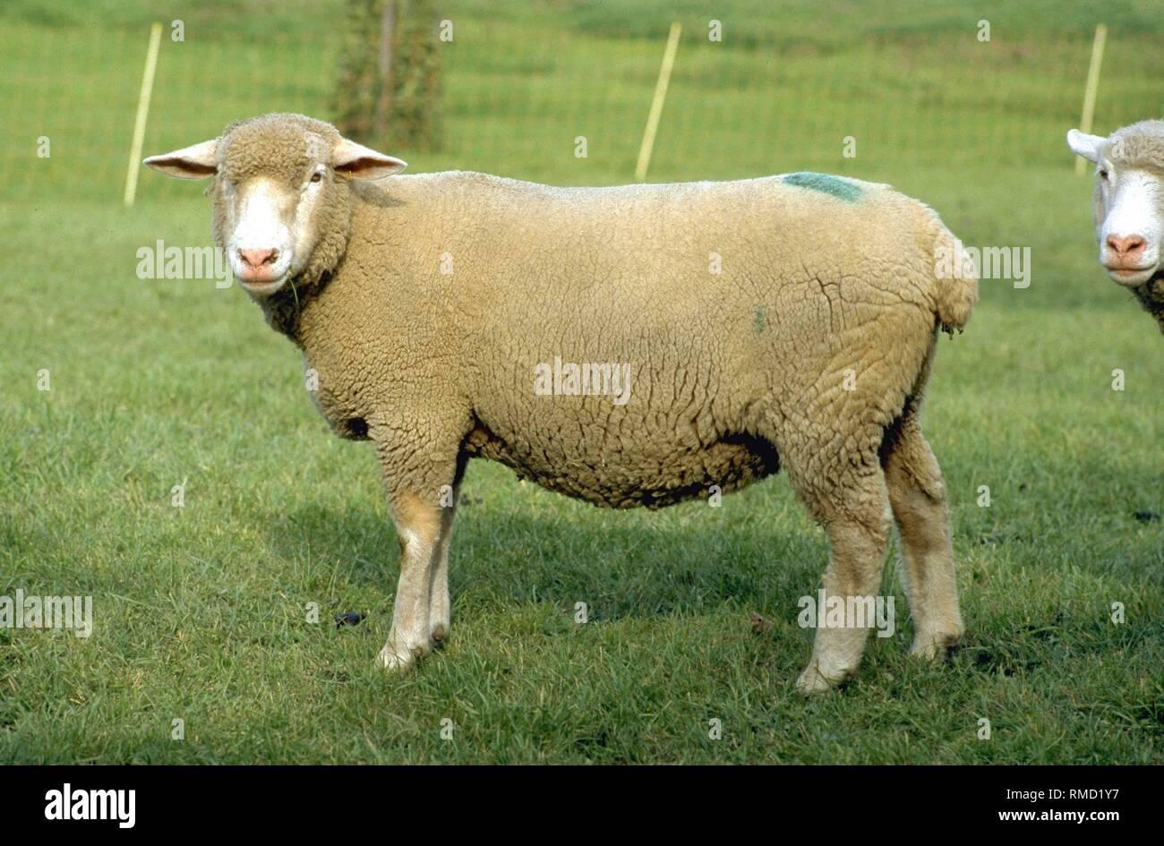Merino Meat Sheep Stock Photos & Merino Meat Sheep Stock