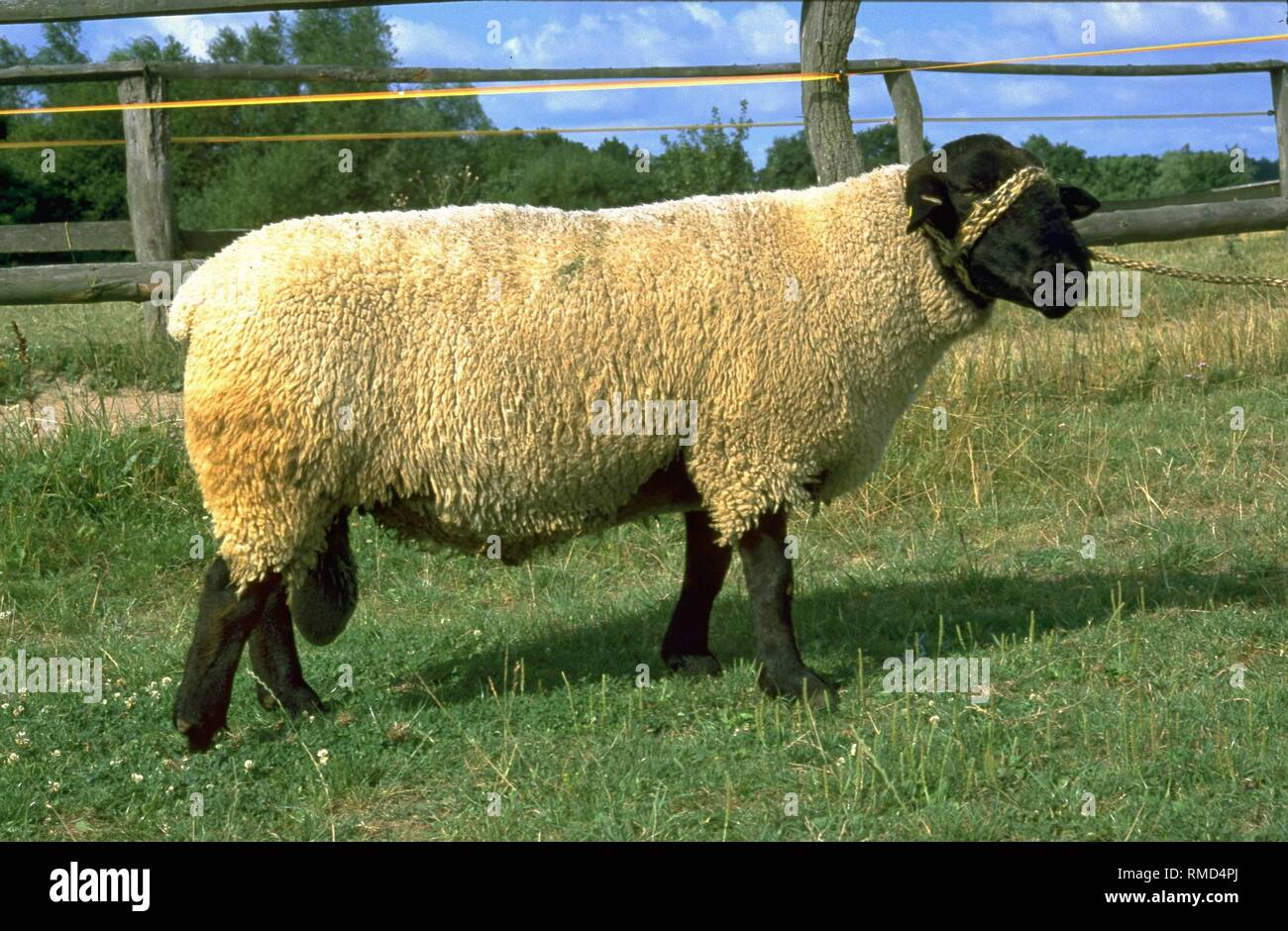 Muscled Sheep Stock Photos Muscled Sheep Stock Images Alamy