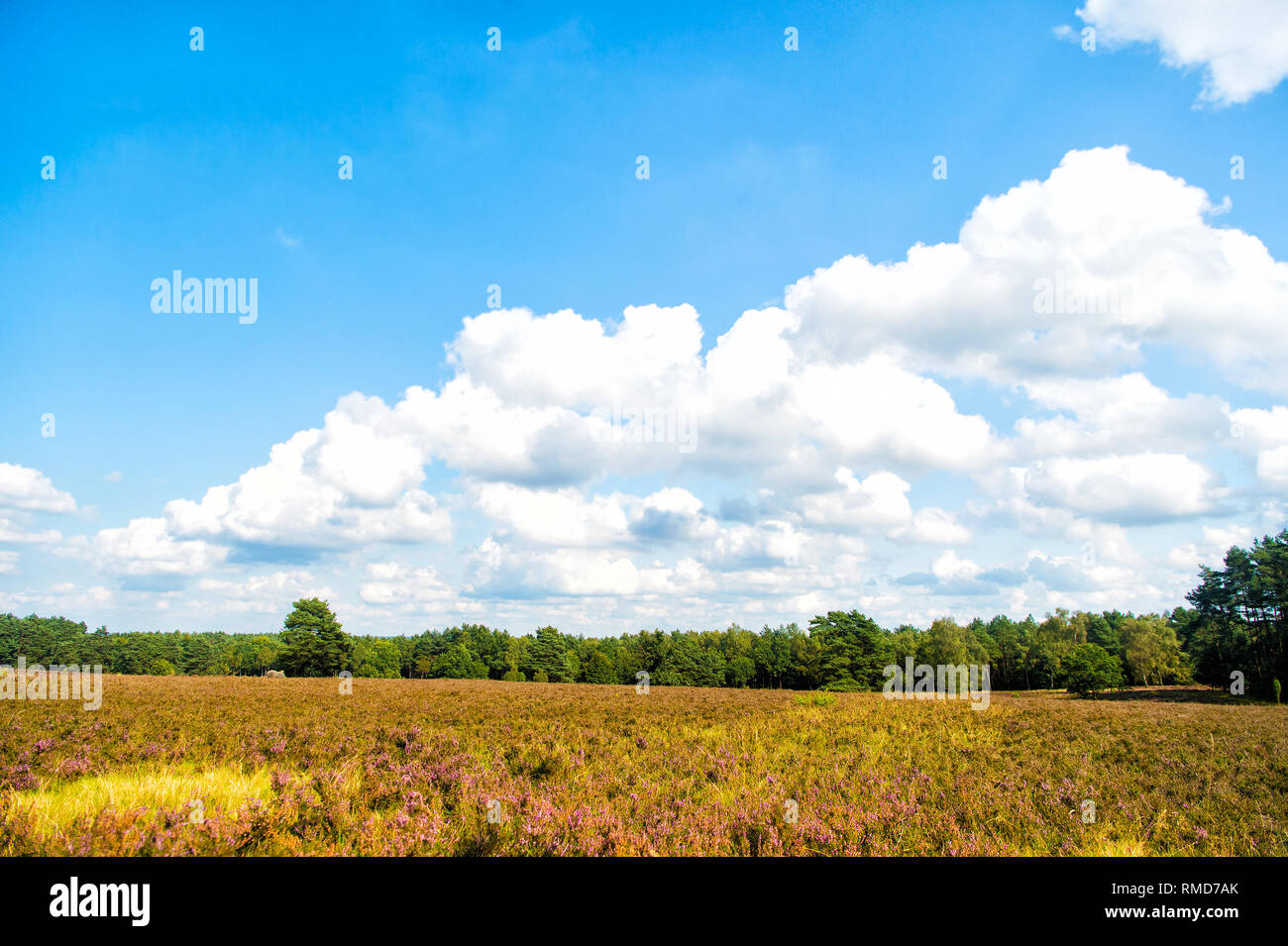 Heathland with flowering common heather (Calluna vulgaris) and an oak in the Lueneburg Heath (Lueneburger Heide) in Lower Saxony, Germany. Autumn field and meadow concept Stock Photo