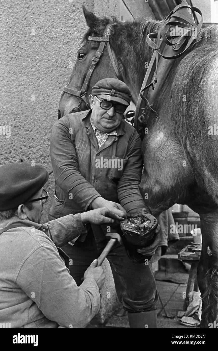 Farrier fits new horseshoes on a horse. - Stock Image