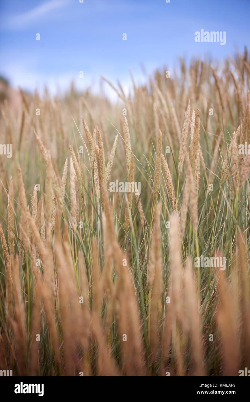 Marram grass growing on a coastal sand dune - Stock Image