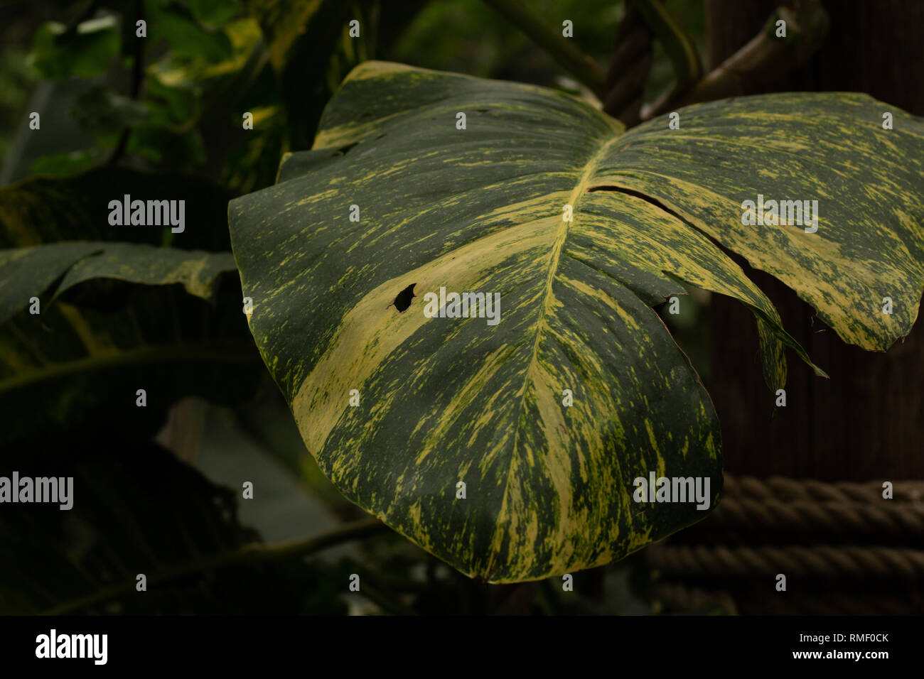 Focus On Large Rich Green Fan Leaf In Jungle Setting - Stock Image