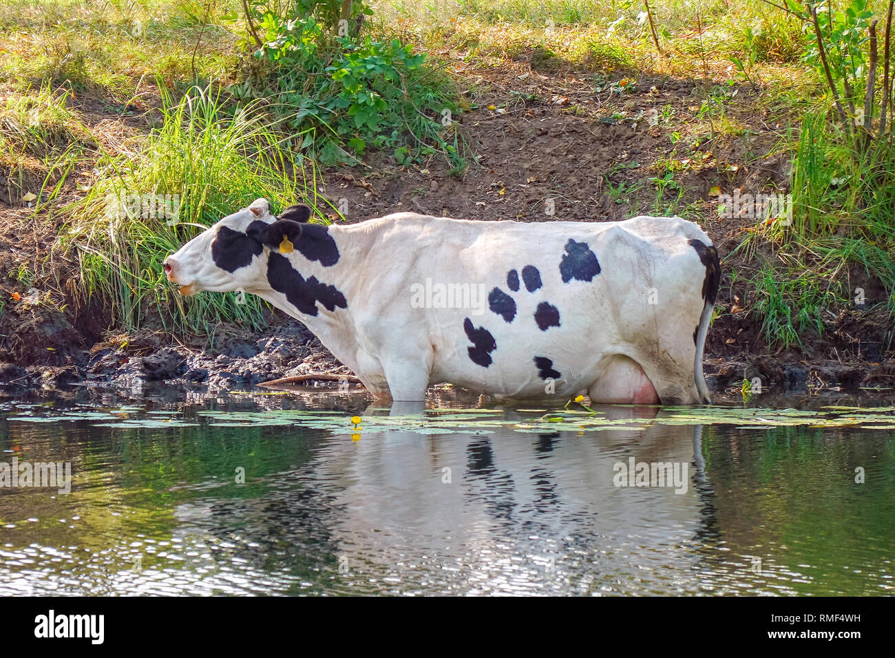 Cows stand in the water on a hot day escaping from the heat - Stock Image
