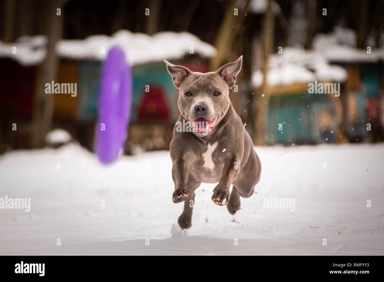 staffordshire bull terrier running for dog puller - Stock Image