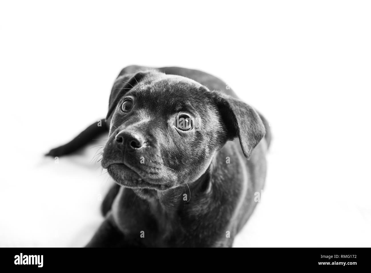 Labrador Pit Bull Mix Puppy Isolated On White Background Stock Photo