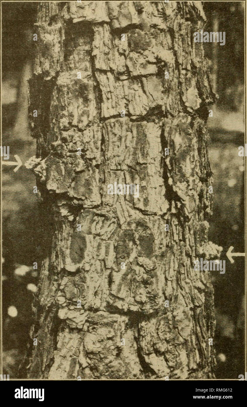 . An annotated list of the important North American forest insects. Forest insects. FARMERS' BULLETIN 15 86 middle and upper trunk (fi^. 3), but they should not be confused with the larger tubes of the tur})entine beetles ^ which are found near the ground. (Fig. 15.) Reddish sawdustlike borings can often be found sprinkled along the trunk and on tlie ground around the base of the tree. A blue-stain fungus which results in lowering the grade of salvaged lumber is always associated with trees killed bv this beetle. (Fig. 4.) The stain quickly extends to the heart wood. (Fig. 5.) Where any doubt  - Stock Image