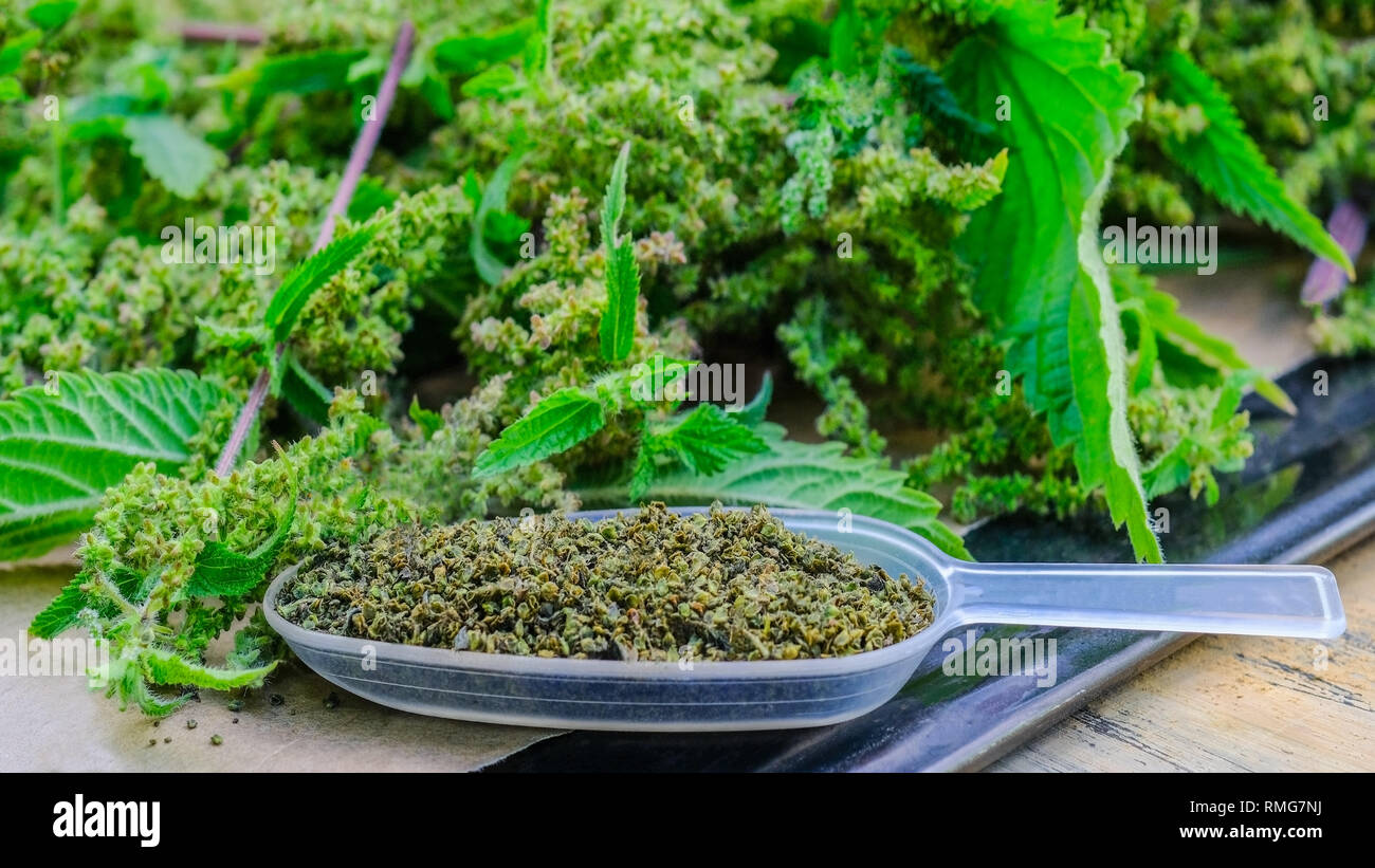 Wild nettle seeds scientifically called Urtica dioica in the medical spoon. - Stock Image
