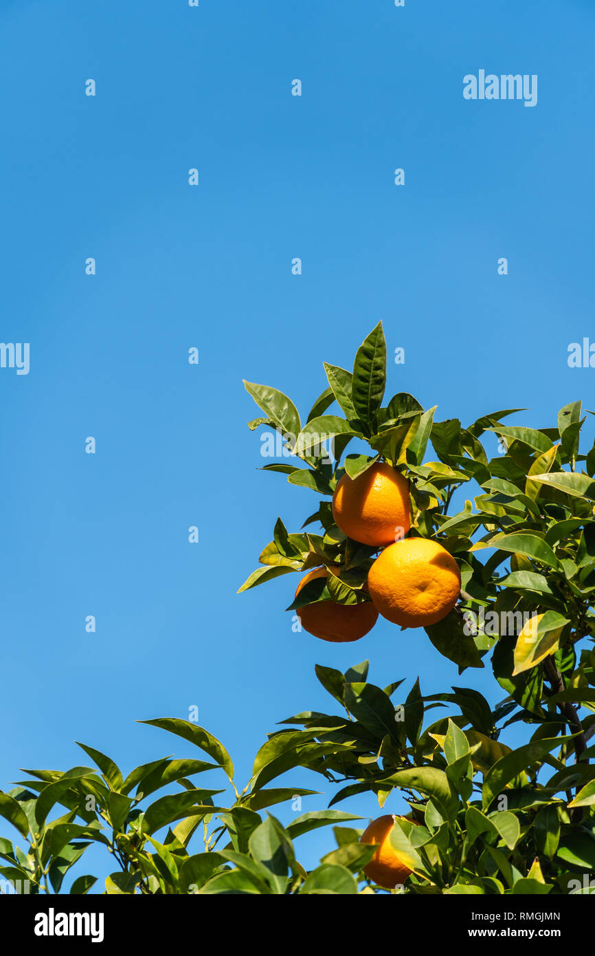 Oranges on branch against blue sky. - Stock Image