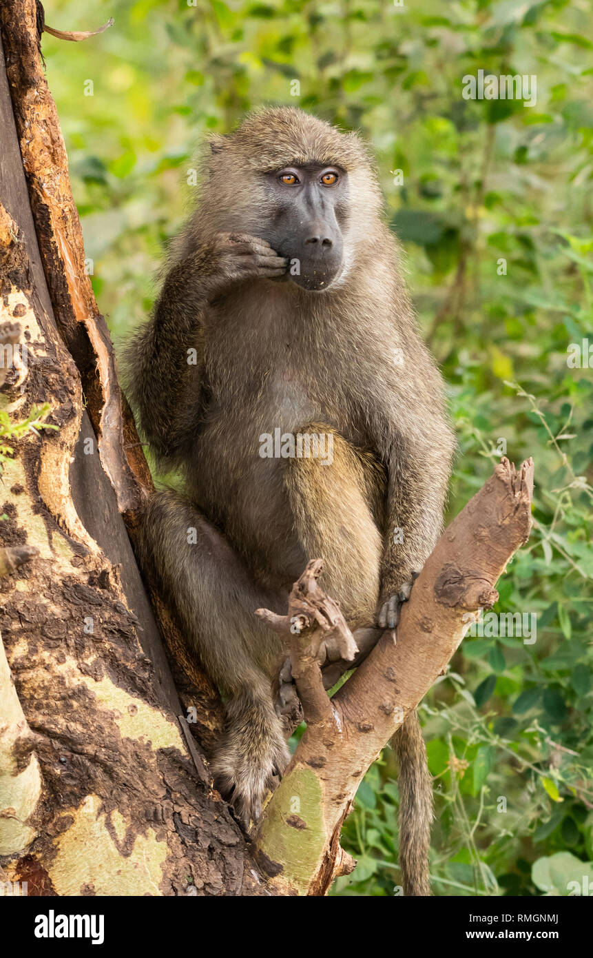 Female Olive Baboon, Papio anubis, in Lake Manyara National Park, Tanzania - Stock Image
