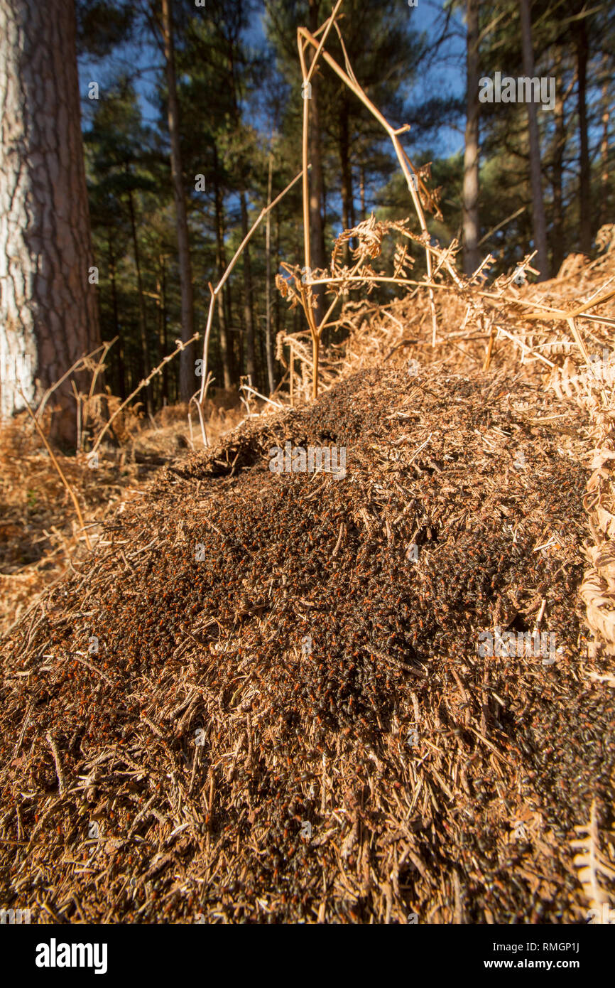 Wood ants, Formica rufa, in dense numbers outside their nest in warm, February sunshine. The ants can spray formic acid as a defence against attackers - Stock Image