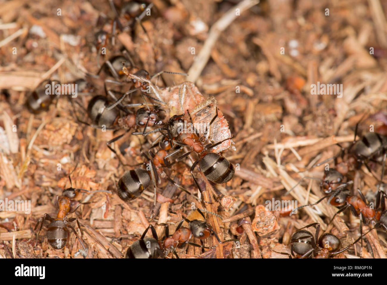 Wood ants, Formica rufa, outside their nest in warm, February sunshine with a shield bug they have captured. The ants can spray formic acid as a defen - Stock Image