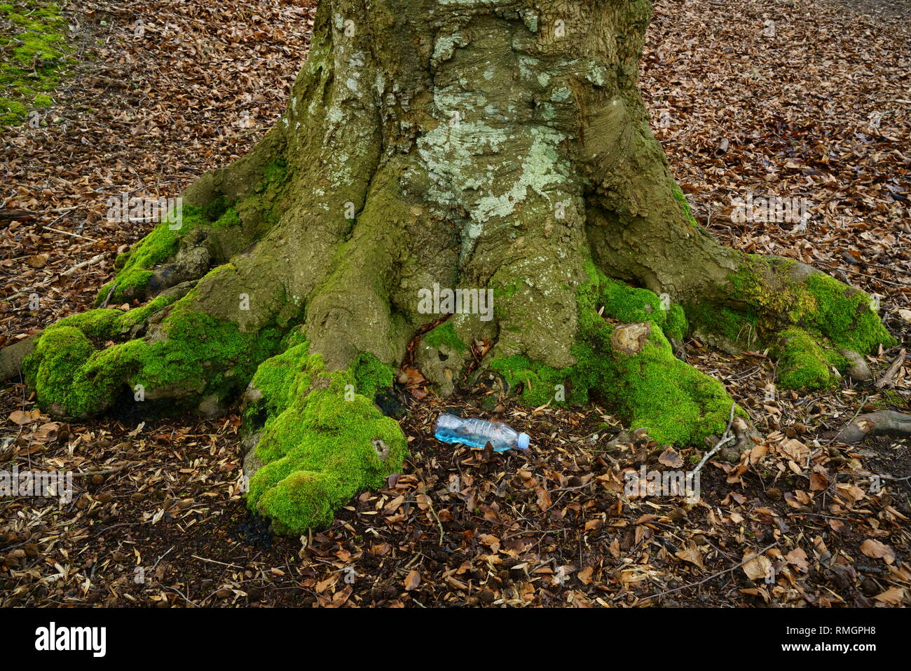 Plastic pollution UK, a plastic bottle littering the base of an ancient Beech tree. - Stock Image