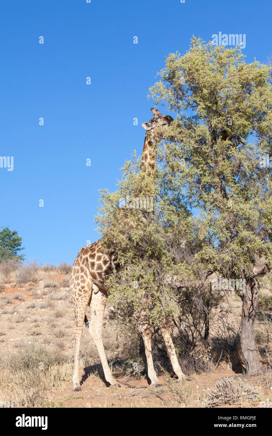 Male giraffe, Giraffa camelopardalis, browsing on an acacia tree in the dry riverbed of the Auob River, Kgalagadi Transfrontier Park, Northern Cape, S - Stock Image