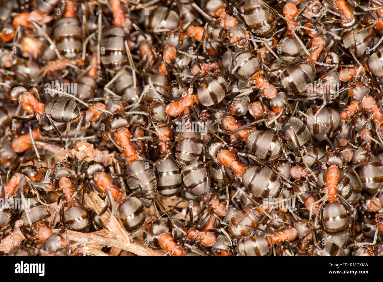 A close up of wood ants, Formica rufa, in dense numbers outside their nest in warm, February sunshine. The ants can spray formic acid as a defence aga - Stock Image