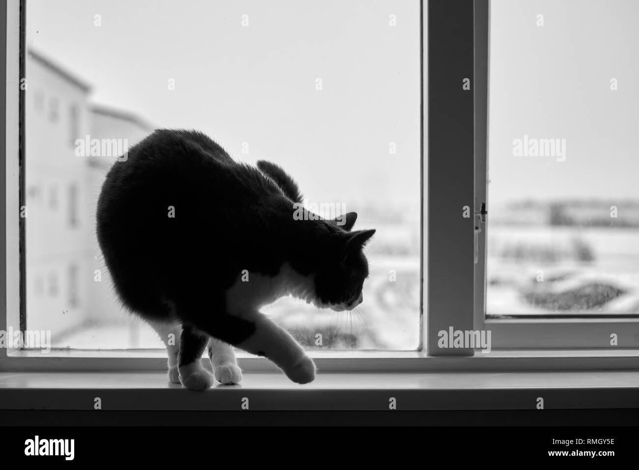 Bicolour cat on window sill. Black and white photo concept. Stock Photo