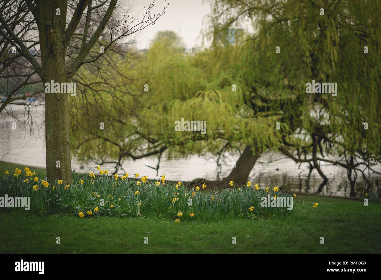 Yellow flowers and trees on the edge of a lake in a park in London. Landscape format. - Stock Image