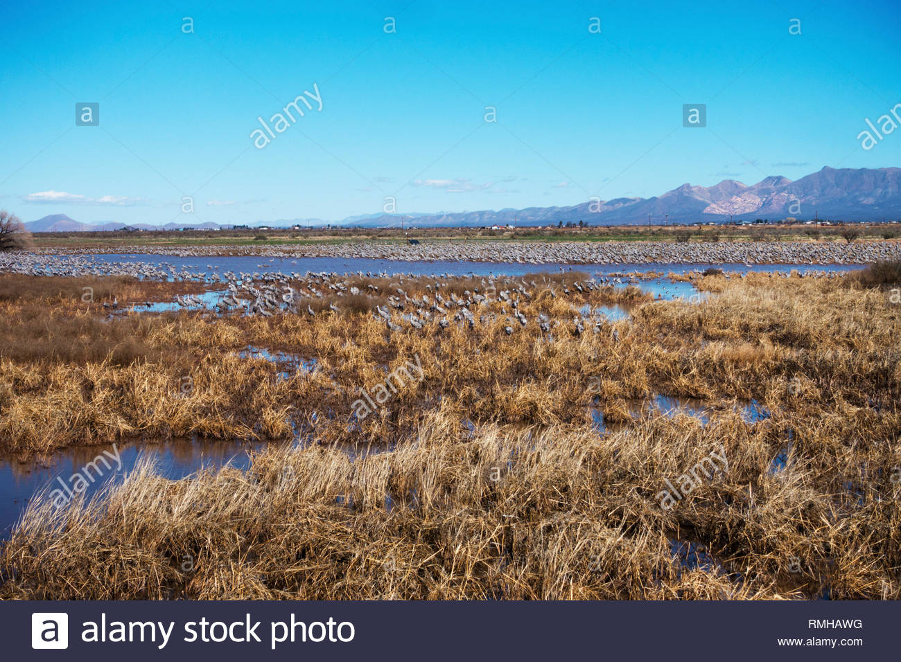 Sandhill Cranes in pond at Whitewater Draw Wildlife Area