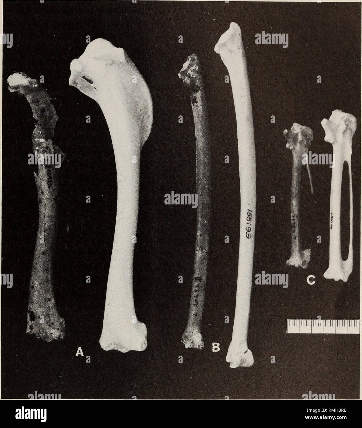 . Annals of the South African Museum = Annale van die Suid-Afrikaanse Museum. Natural history. EARLY PLIOCENE IBISES 63. Fig. 3. Wing elements of Geronticus apelex sp. nov., holotype, SAM-PQ-L20692 (on left in each pair) and G. eremita, MVZ 155199. A. Humeri. B. Ulnae. C. Carpometacarpi. Scale is in mm. and posteriorly). Mandibular symphysis narrow as in G. eremita, not broader and more flattened as in G. calvus. Compared to modern species of Geronticus, the procoracoid foramen of the coracoid is smaller, the brachial depression of the humerus is smaller, not extending as far proximally, with  - Stock Image