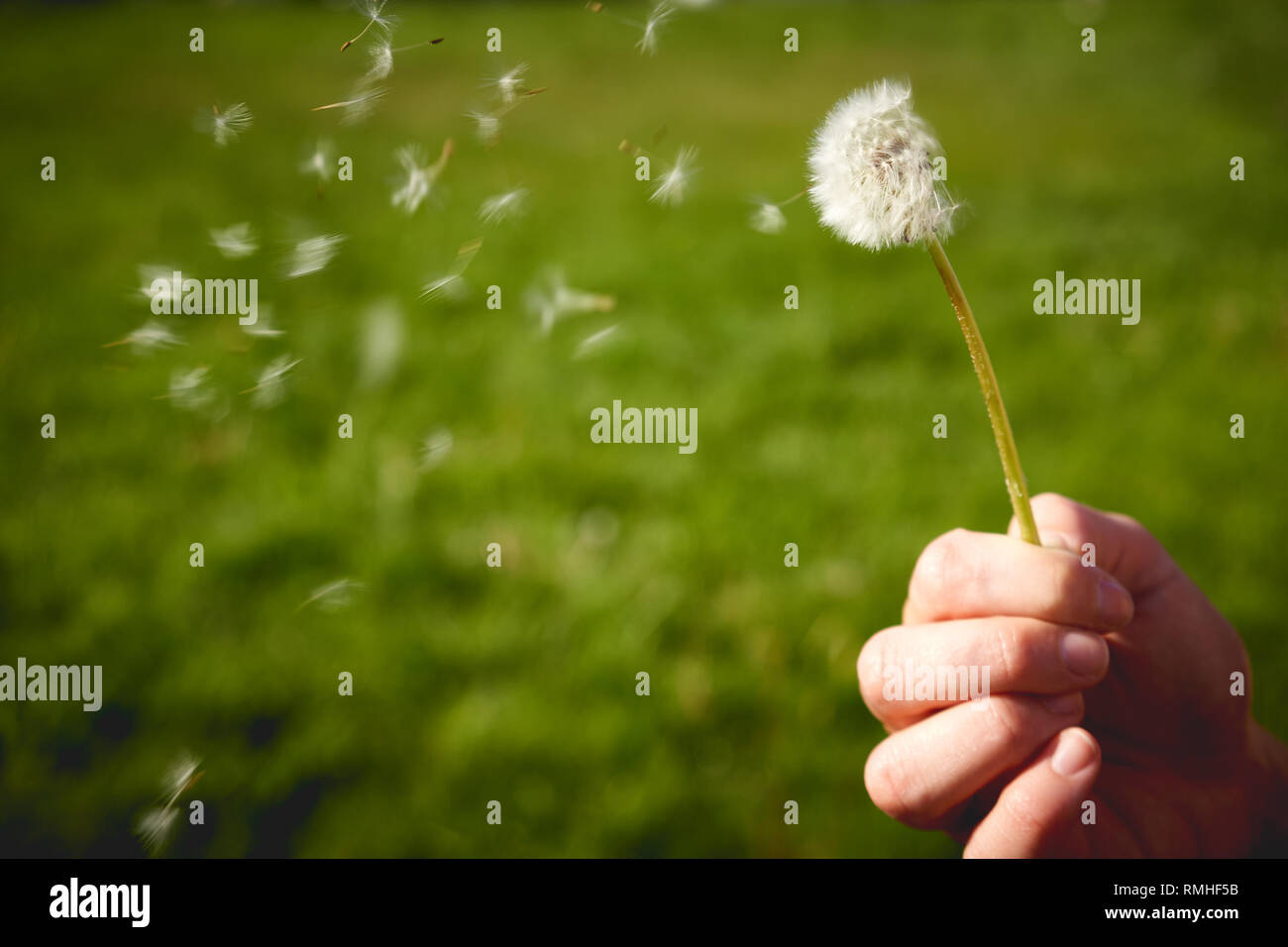 View of a blowing dandelion held by a female hand. Concept. Landscape format. - Stock Image
