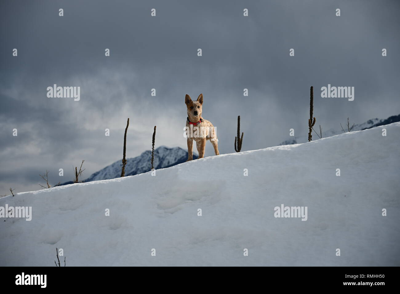 Red Healer standing on snow mountain - Stock Image