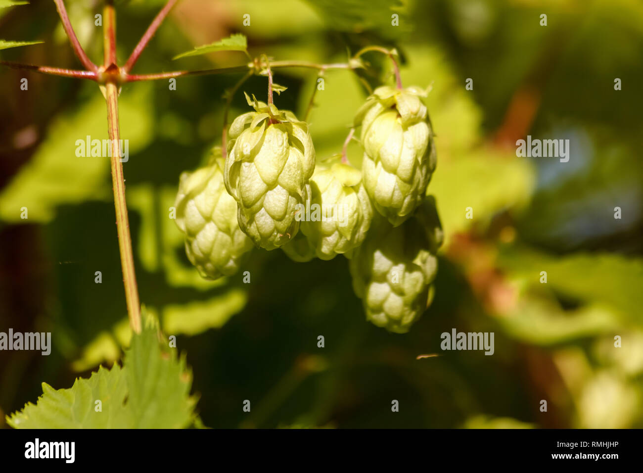 Green fresh hops cones for making beer and bread close-up, agricultural background, hops cones detail in hops field. Stock Photo
