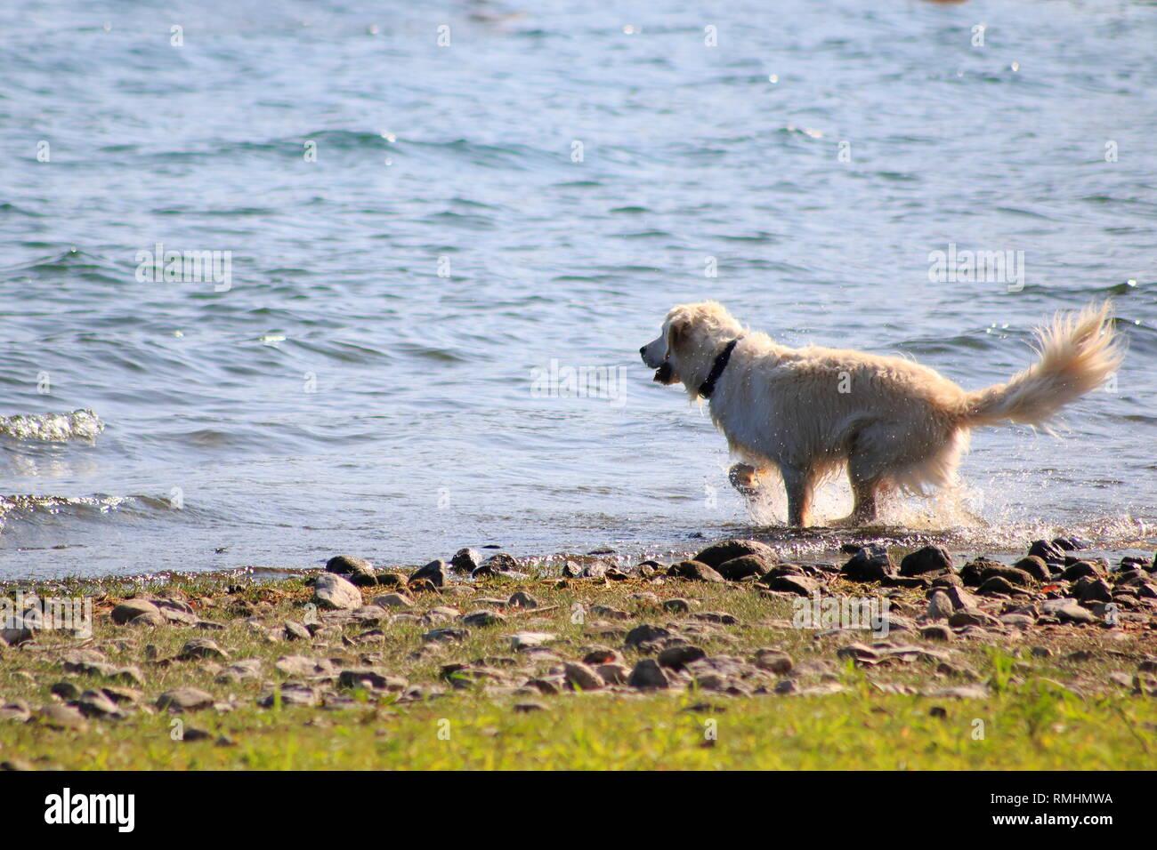 Golden Redriever Hund springt im Wasser, am Ufer vom See, umher und hat Spaß - Stock Image
