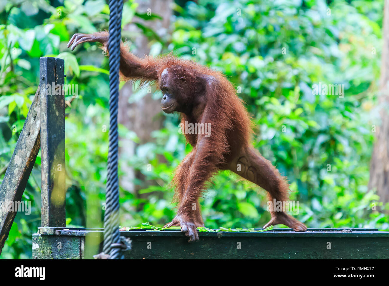 orangutans or pongo pygmaeus is the only asian great found on the island of Borneo and Sumatra Stock Photo