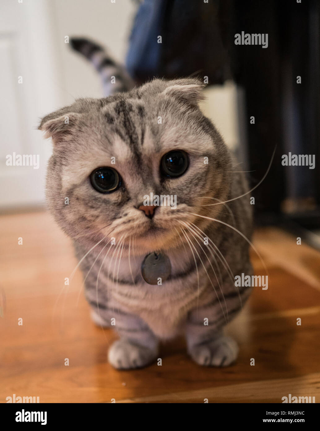Adorable young white and grey Scottish fold munchkin cat. - Stock Image