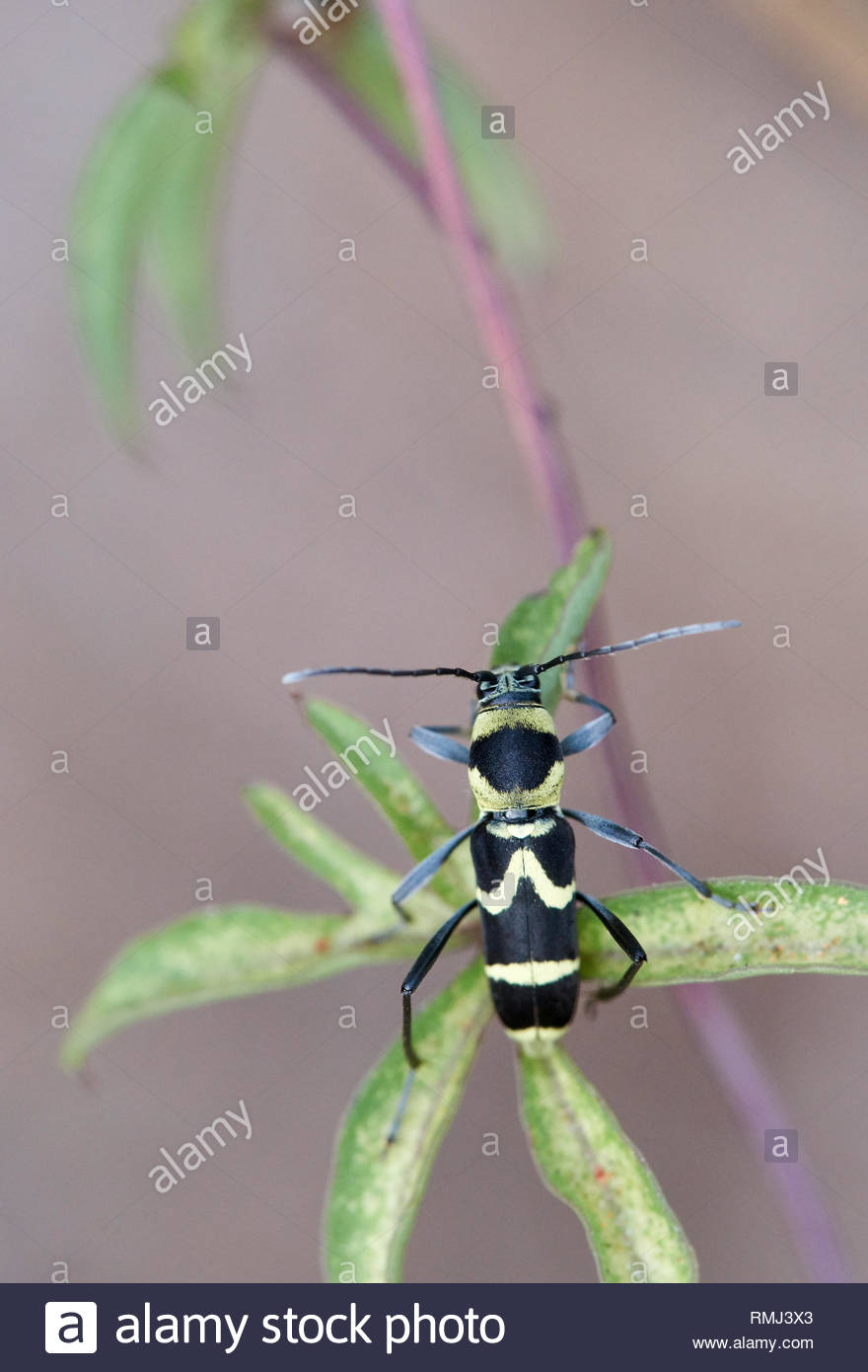 An insect macro image of the 'wasp-imitating' Clytus arietis, a longhorn beetle; clinging to a green leaf. Taken on Goodwood Island, NSW, Australia. - Stock Image