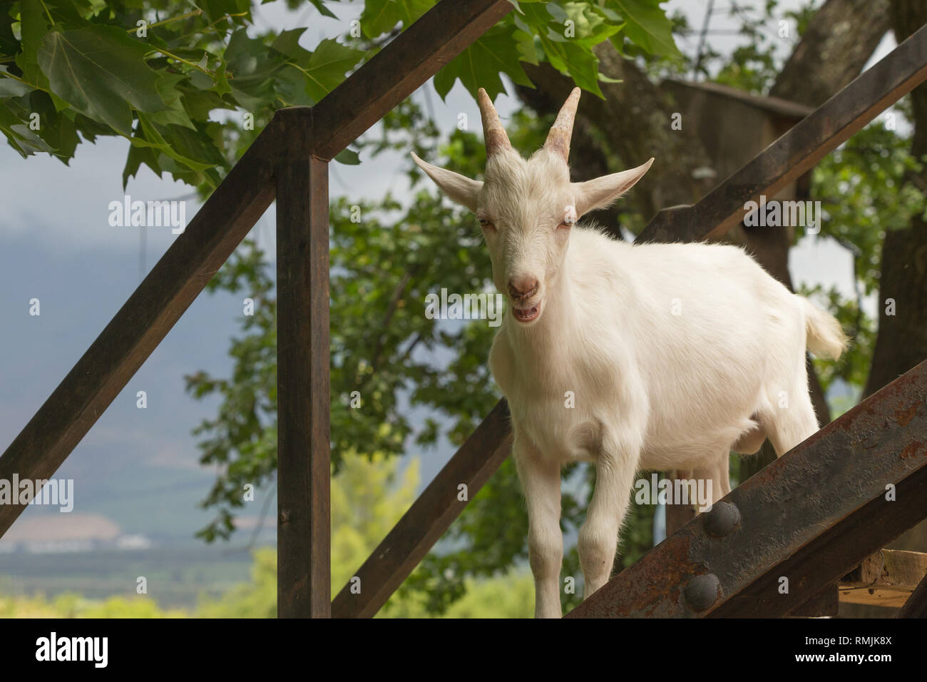 goat juvenile or young kid standing on steps of wooden bridge and looking down on everyone while bleating  Fairview wine estate, Paarl, Cape WInelands - Stock Image