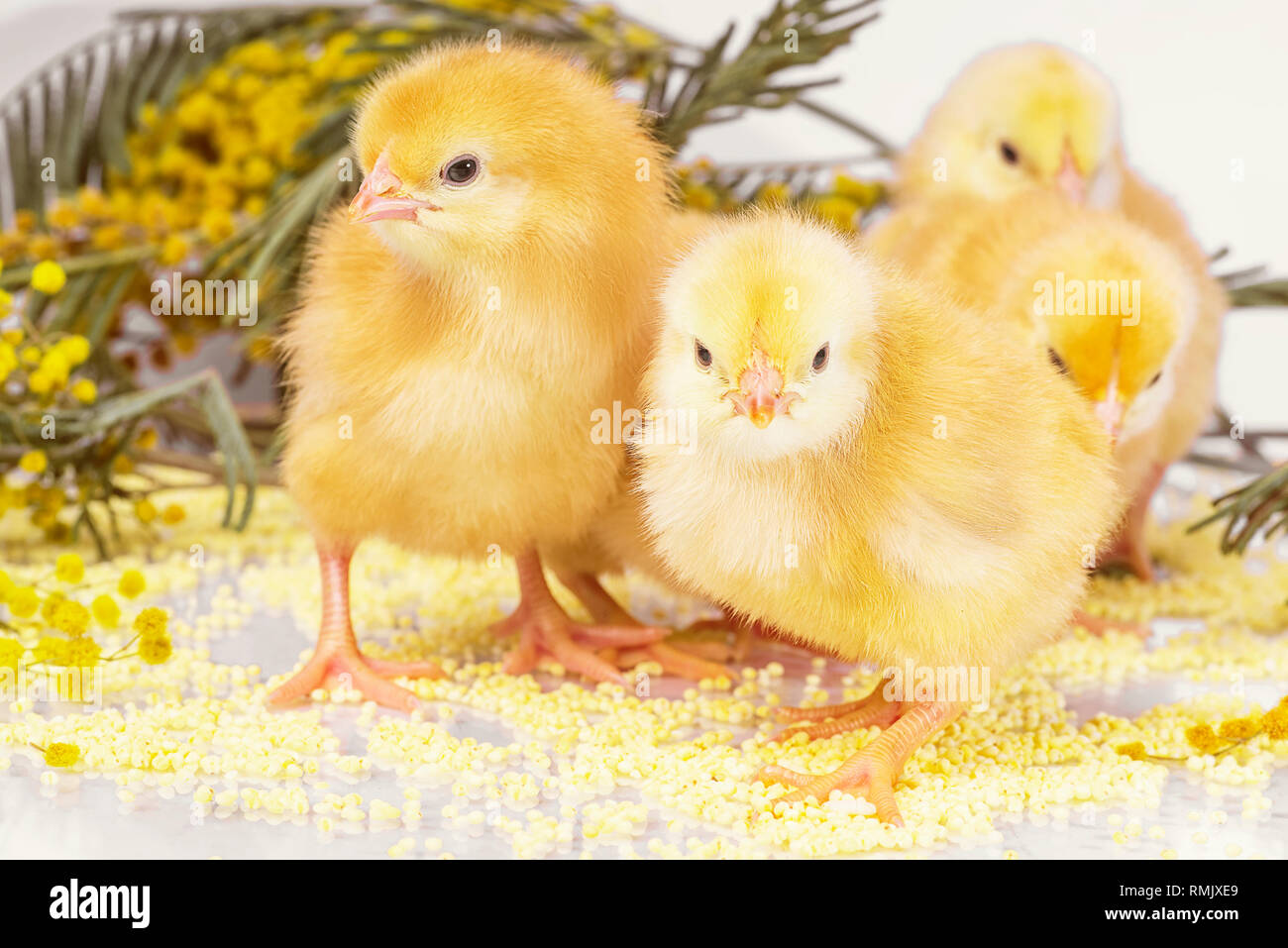 Yellow chickens with a yellow flower. Little newborn chickens.. - Stock Image