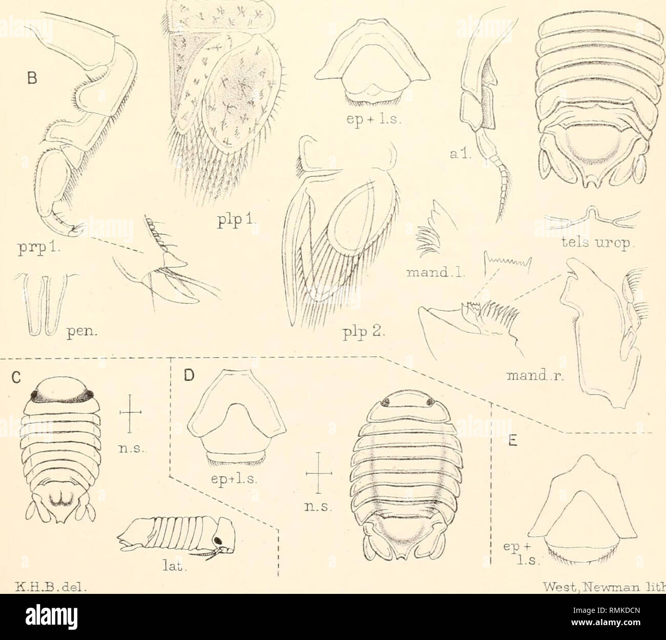 . Annals of the South African Museum. Annale van die Suid-Afrikaanse Museum. Natural history. al. pip 2 plpl. '•. lat. K.H..B.del. lith.. A.DYNAMENELLA SCABRIGULA (Heller). B. DYNAMENELLA KRAUSSI n.sp. C.DYNAMENELLA MACROCEPHALA (Jfrauss). D. BYNAMENELLA OVALIS n.sp. E. DYNAME NEiLA AU S TRALIS Richardson.. Please note that these images are extracted from scanned page images that may have been digitally enhanced for readability - coloration and appearance of these illustrations may not perfectly resemble the original work.. South African Museum; South African Museum. Annale van die Suid-Afrika - Stock Image