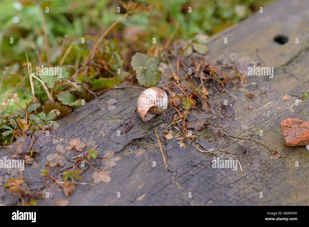 Empty discarded land or terrestrial snail shell lying on a concrete pathway with a small tangle of uprooted vegetation from the field or lawn alongsid - Stock Image